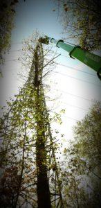 Drzewo kontra linia energetyczna